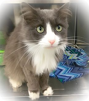 Domestic Mediumhair Cat for adoption in Webster, Massachusetts - Marengo