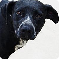 Adopt A Pet :: Ari - Toccoa, GA