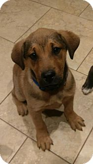 Black Mouth Cur Mix Puppy for adoption in Providence, Rhode Island - Sequoia CC