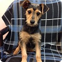 Adopt A Pet :: Barney - New Oxford, PA
