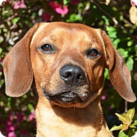 Adopt A Pet :: Scooby - Englewood, FL