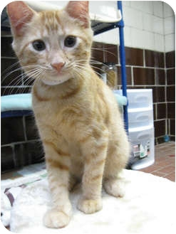 Domestic Shorthair Kitten for adoption in Centerburg, Ohio - Scotty