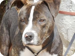 American Pit Bull Terrier Mix Dog for adoption in San Diego, California - Bear