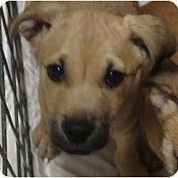 Adopt A Pet :: Scooby Doo - scooby litter - Phoenix, AZ