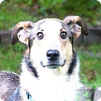 Adopt A Pet :: Collin - Mocksville, NC