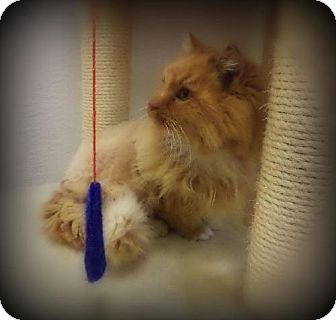 Domestic Mediumhair Cat for adoption in Pekin, Illinois - Merida