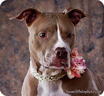Pit Bull Terrier Mix Dog for adoption in Boston, Massachusetts - Honey