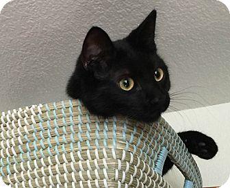 Domestic Shorthair Cat for adoption in Burbank, California - Hunter
