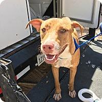 Adopt A Pet :: Azalea - El Centro, CA