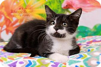 Domestic Shorthair Kitten for adoption in Sterling Heights, Michigan - Froggy