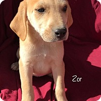 Adopt A Pet :: Zor-pending adoption - Manchester, CT