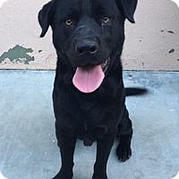 Adopt A Pet :: Bert - Canoga Park, CA