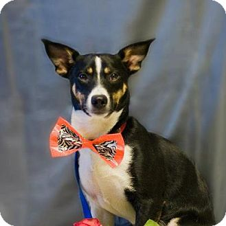 Terrier (Unknown Type, Small)/Rat Terrier Mix Dog for adoption in Golden Valley, Arizona - Kelsy