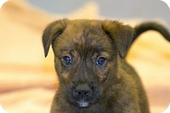 Shepherd (Unknown Type)/Chow Chow Mix Puppy for adoption in Gainesville, Florida - Phineas