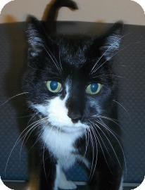 Domestic Shorthair Cat for adoption in Jackson, Michigan - Evan