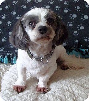 Shih Tzu Mix Dog for adoption in Mississauga, Ontario - Dirks