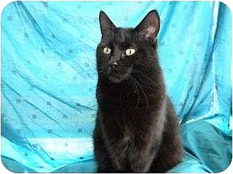 Domestic Shorthair Cat for adoption in Bay City, Michigan - Licorice
