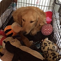 Adopt A Pet :: Sheffield - Evergreen, CO