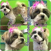 Adopt A Pet :: Chalet - South Gate, CA