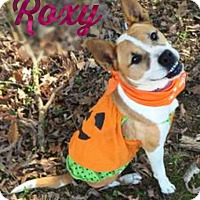 American Pit Bull Terrier Mix Dog for adoption in Roanoke, Virginia - Roxy