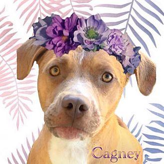 Labrador Retriever/Pointer Mix Dog for adoption in Huntington Beach, California - Cagney