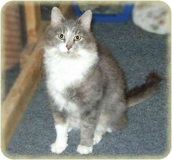 Domestic Mediumhair Cat for adoption in Howell, Michigan - Will
