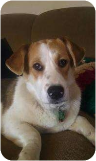 Corgi/Beagle Mix Dog for adoption in Cincinnati, Ohio - Augusta: ADOPTED!
