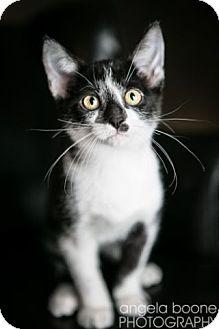 Domestic Shorthair Kitten for adoption in Eagan, Minnesota - Dover