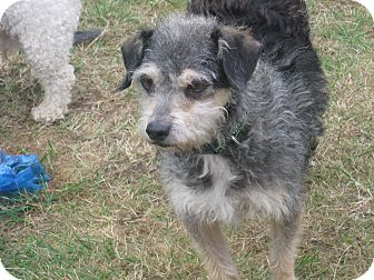 Terrier (Unknown Type, Medium) Dog for adoption in Tumwater, Washington - Oreo