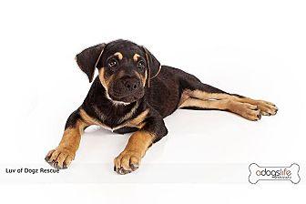 Golden Retriever/Rottweiler Mix Puppy for adoption in Scottsdale, Arizona - Shawn