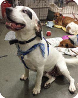 Basset Hound Mix Dog for adoption in Alexis, North Carolina - Harris