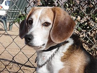 Beagle Dog for adoption in Apple Valley, California - Albert (Alby)