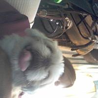 Adopt A Pet :: Bugsy - Malabar, FL