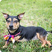 Corgi Mix Dog for adoption in Arlington, Virginia - Millie