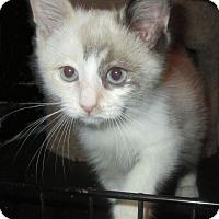 Adopt A Pet :: Tiaramisu - Gilbert, AZ