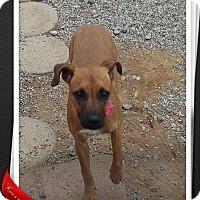 German Shepherd Dog Mix Puppy for adoption in Apache Junction, Arizona - Helena