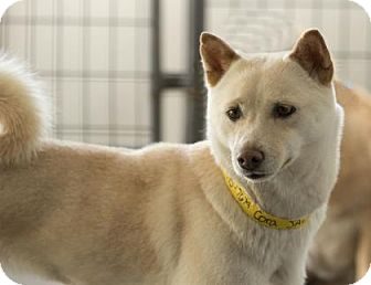 Shiba Inu Dog for adoption in Colorado Springs, Colorado - Cora