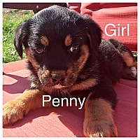 Adopt A Pet :: Penny - Oxford, CT