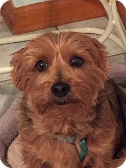 Yorkie, Yorkshire Terrier Dog for adoption in Columbia, Maryland - Gizmo
