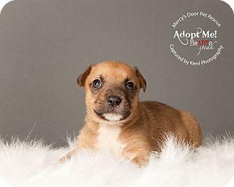 Bull Terrier/American Pit Bull Terrier Mix Puppy for adoption in Medina, Ohio - Dozer