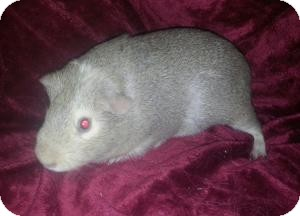 Guinea Pig for adoption in Pittsburgh, Pennsylvania - Sugar
