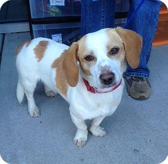 Beagle/Dachshund Mix Dog for adoption in Richmond, Virginia - Susie