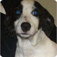 Adopt A Pet :: Abby - URGENT FOSTER NEEDED - Seattle, WA