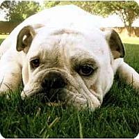 Adopt A Pet :: Callie*adoption pending* - Gilbert, AZ