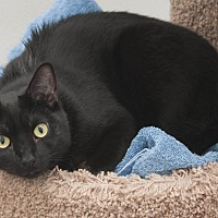 Domestic Shorthair Cat for adoption in Waynesville, North Carolina - Abra
