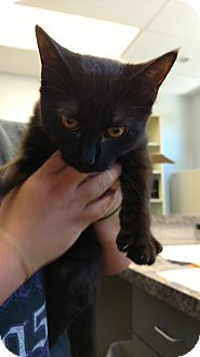 Domestic Shorthair Kitten for adoption in Paducah, Kentucky - Rachel