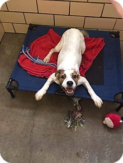 Brittany/Boxer Mix Dog for adoption in Jerseyville, Illinois - Hailey