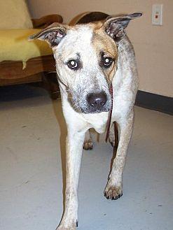 Cattle Dog/Labrador Retriever Mix Dog for adoption in Logan, Utah - Max