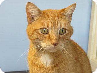 Domestic Shorthair Cat for adoption in Northfield, Minnesota - Julian