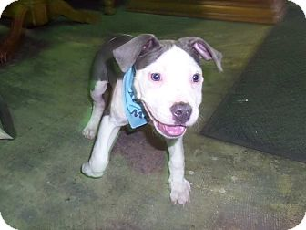 Staffordshire Bull Terrier Mix Puppy for adoption in Hardeeville, South Carolina - Max